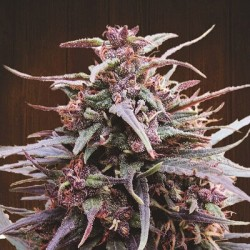 Purple Haze x Malawi Feminitzades - Ace Seeds