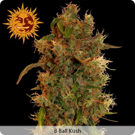Graines de cannabis 8 Ball Kush Feminisée