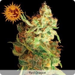Red Dragon Feminized - Barney's Farm