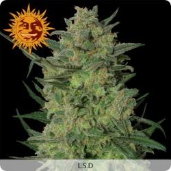 Graines de LSD féminisées de chez Barney's Farm