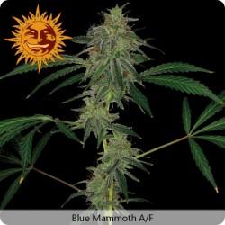Blue Mammoth graines féminisées à Autofloraison