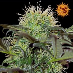 Critical Kush Feminized - Barney's Farm
