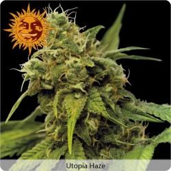 Utopia Haze féminisées de chez Barney's Farm