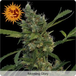 Morning Glory graines de cannabis féminisées de Barney's Farm