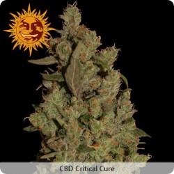 CBD Critical Cure Feminized - Barney's Farm