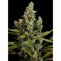 Cheese Feminized - Dinafem