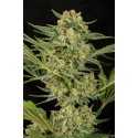 Critical Cheese Feminized - Dinafem
