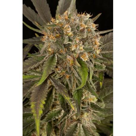 Graines de cannabis Blue Kush féminisée de Dinafem