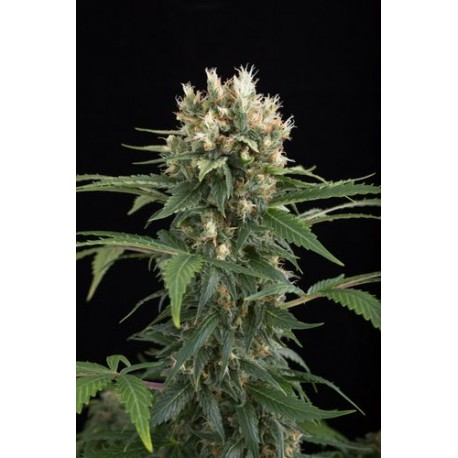 Critical Cheese Feminisiert - Dinafem