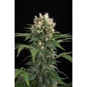 Blue Thai feminized - Dinafem