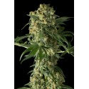 Big Kush Feminized - Dinafem