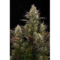 White Widow Feminizadas - Dinafem
