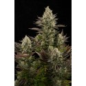 White Widow Feminized - Dinafem