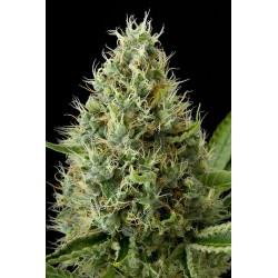 Dinamex graines de cannabis féminisée de chez Dinafem