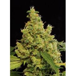 Blue Hash graines de cannabis Féminisées de Dinafem