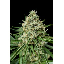 Critical + 2.0 Feminized - Dinafem