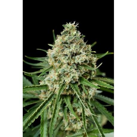 Critical 2.0 graines de cannabis féminisées de chez Dinafem
