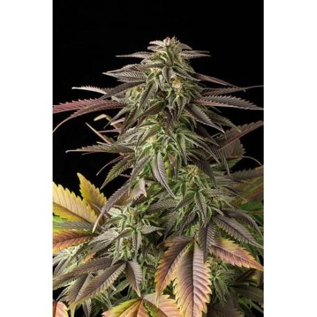 Blue Cheese Féminisées graines de cannabis par Dinafem