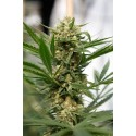 Sweet Deep Grapefruit Feminized - Dinafem