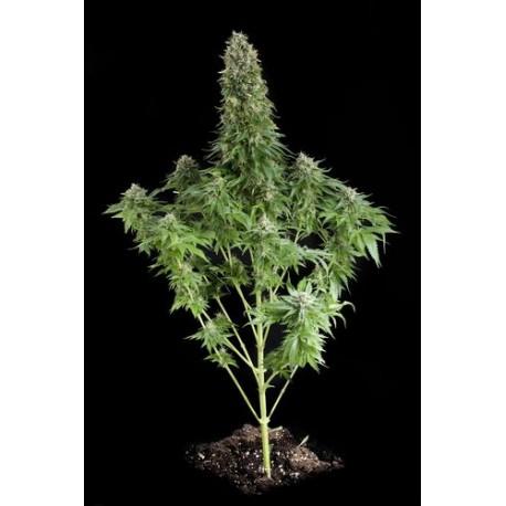 White Siberian graines de cannabis féminisées - Dinafem