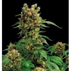 Royale Haze feminized - Dinafem