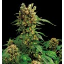 California Hash Plant Féminisée - Dinafem