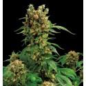 California Hash Plant femminilizzata - Dinafem
