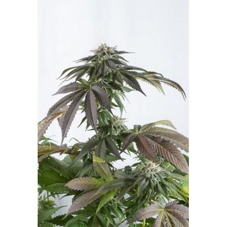 Graines de Bubba Kush CBD, cannabis médical de chez Dinafem