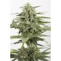 Industrial Plant autofloraison CBD - Dinafem