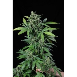 Haze 2.0 Autoflowering graines de cannabis de chez Dinafem