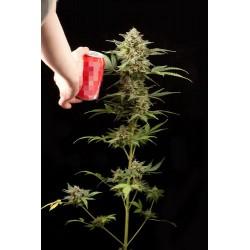 Haze Auto floraison graines de cannabis de chez Dinafem