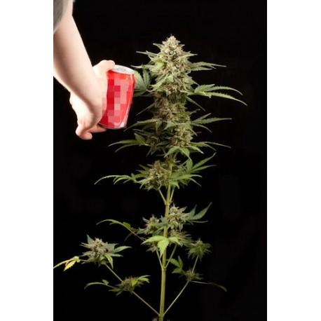 Fruit Autoflowering - Dinafem
