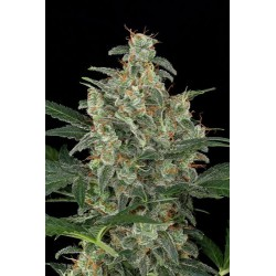 Haze Autoflowering - Dinafem