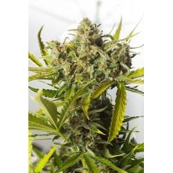 Blue Critical graines de cannabis auto fleurissantes de chez Dinafem