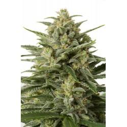 White Widow XXL Auto, graines de cannabis de chez Dinafem