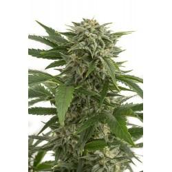 Graines de Bubba Kush cannabis à autofloraison de Dinafem