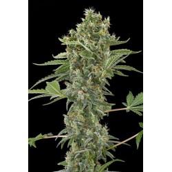 Moby Dick Autofloraison graine de cannabis par Dinafem