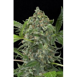 Blue Cheese Autoflowering - Dinafem