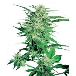 Big Bud féminisée - Sensi Seeds Bank
