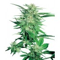 Big Bud Feminized - Sensi Seeds Bank