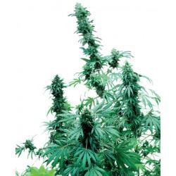 Big Bud Feminitzades - Sensi Seeds Bank