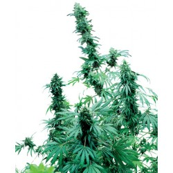 Big Bud Feminized - Sensi Seeds Bank