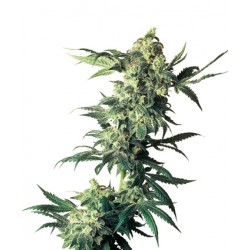 Early Skunk Feminized - Sensi Seeds Bank