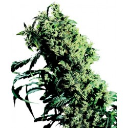 Northern Lights femminilizzata - Sensi Seeds Bank
