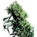Northern Lights N°5 x Haze femminilizzata - Sensi Seeds Bank