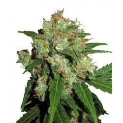 Northern Lights N°5 x Haze femminilizzata - Sensi Seeds Bank