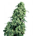 Skunk N°1 Feminized - Sensi Seeds Bank