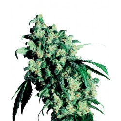 Super Skunk Feminisiert - Sensi Seeds Bank