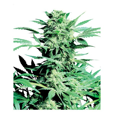 Super Skunk Feminized - Sensi Seeds Bank
