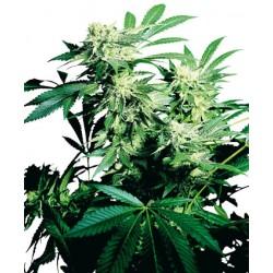 Graines Skunk Kush, graines de cannabis féminisée de la Sensi Seeds